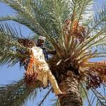 dattes-maroc-au coeur des peuples-tourisme solidaire